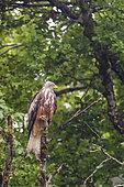 Red Kite (Milvus milvus) perched in a tree in the rain, Navarra, Spain
