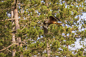 Red Kite (Milvus milvus) in flight at the edge of a forest, Navarre, Spain