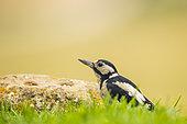 GreatSpotted Woodpecker (Dendrocopos major) posing in the grass, Navarra, Spain