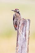 Great Spotted Woodpecker (Dendrocopos major) on a dead tree trunk, Navarra, Spain