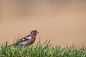 Common Chaffinch (Fringilla coelebs) male in the grass, Navarra, Spain