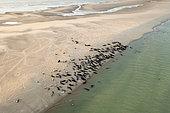 Grey seal (Halichoerus grypus) colony, Opal Coast, Pas de Calais, France