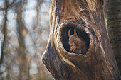 Red squirrel(Sciurus vulgaris) in a tree trunk in spring, Moselle, France