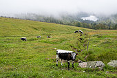 Vosgian cow in a meadow in summer, Le Hohneck, Vosges, France