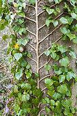 English ivy (Hedera helix) on European ash (Fraxinus excelsior) trunk, france