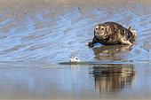 Grey seal (Halichoerus grypus) on sand, les Hemmes de Marck, Opal Coast, Pas de Calais, France