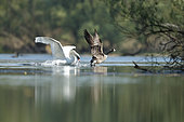 Canada Goose (Branta canadensis) chased by a Mute swan (Cygnus olor), Alsace, France.