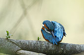 Common King Fisher (Alcedo atthis) grooming on a branch, Alsace France.