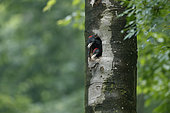 Black Woodpecker (Dryocopus martius) young male and femelle at the entrance of the nest, Bulgaria