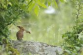 Eurasian Hoopoe (Upupa epops) holding a mole cricket, Bulgaria