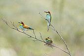 European Bee-eater (Merops apiaster) three on a branch, Bulgaria