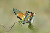 European Bee-eater (Merops apiaster) pair on a branch with open wings, Bulgaria