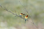 European Bee-eater (Merops apiaster) pair on a branch with a Small Tortoiseshell butterfly, Bulgaria