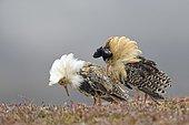 Two ruffs (Philomachus pugnax), at lek,displaying in nuptial plumage, Varanger Peninsula, Norway, Europe
