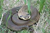 Eastern hog-nosed snake (Heterodon platirhinos) coiled up in grass, North America