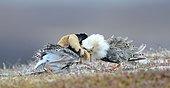 Two Ruff (Philomachus pugnax) in nuptial plumage, Balzend, Varanger Peninsula, Norway, Europe