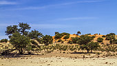 Red dune scenery in Kgalagadi transfrontier park, South Africa; Twee rivieren , Nossob riverbed