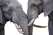 Close-up of two African bush elephant (Loxodonta africana) head bonding in Kruger National park, South Africa
