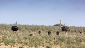 African Ostrich (Struthio camelus) with chicks in dry land in Kgalagadi transfrontier park, South Africa