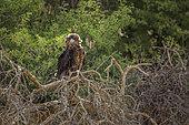 Bateleur Eagle (Terathopius ecaudatus) juvenile perched on a tree in backlit in Kgalagadi transfrontier park, South Africa