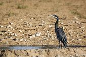 Black headed Heron (Ardea melanocephala) standing at waterhole in Kgalagadi transfrontier park, South Africa