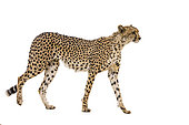 Cheetah (Acinonyx jubatus) isolated in white background in Kgalagadi transfrontier park, South Africa