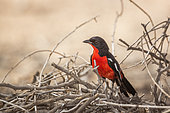 Crimson breasted Gonolek (Laniarius atrococcineus) standing front view in dry branches in Kgalagadi transfrontier park, South Africa