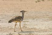 Kori bustard (Ardeotis kori) walking in sand desert in Kgalagadi transfrontier park, South Africa