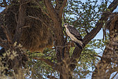Martial Eagle (Polemaetus bellicosus) juvenile standing in tree in Kgalagadi transfrontier park, South Africa