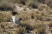 Pale Chanting-Goshawk (Melierax canorus) hunting in ground in Kgalagadi transfrontier park, South Africa