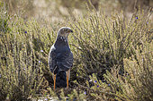 Pale Chanting-Goshawk (Melierax canorus) standing in flowering scrubland in Kgalagadi transfrontier park, South Africa