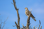 Pale Chanting-Goshawk (Melierax canorus) standing in a branch isolated in blue sky in Kgalagadi transfrontier park, South Africa