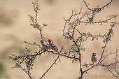 Three Red headed Finchs male (Amadina erythrocephala) standing on acacia shrub in Kgalagadi transfrontier park, South Africa in Kgalagadi transfrontier park, South Africa