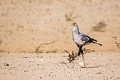 Secretary bird (Sagittarius serpentarius) walking in desert in Kgalagadi transfrontier park, South Africa