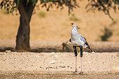 Secretary bird (Sagittarius serpentarius) in Kgalagadi transfrontier park, South Africa