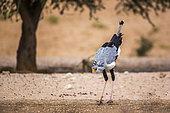 Secretary bird (Sagittarius serpentarius) drinking in waterhole in Kgalagadi transfrontier park, South Africa