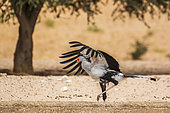 Secretary bird (Sagittarius serpentarius) drinking and spreading wings in Kgalagadi transfrontier park, South Africa