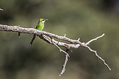 Swallow tailed Bee eater (Merops hirundineus) standing on a branch isolated in natural background in Kgalagadi transfrontier park, South Africa