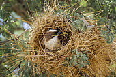 White browed Sparrow Weaver (Plocepasser mahali) building a nest in Kgalagadi transfrontier park, South Africa