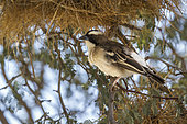 White browed Sparrow Weaver (Plocepasser mahali) standing in nest area in Kgalagadi transfrontier park, South Africa