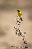 Yellow Canary (Crithagra flaviventris) standing on acacia shrub in Kgalagadi transfrontier park, South Africa in Kgalagadi transfrontier park, South Africa