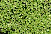 Duckweed (Lemna minor), North Rhine-Westphalia, Germany, Europe