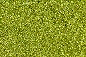 Common Duckweed or Lesser Duckweed (Lemna minor)