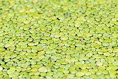 Common duckweeds (Lemna minor), Baden-Württemberg, Germany, Europe