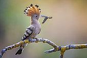 Eurasian Hoopoe (Upupa epops) with food in beak, Saxony-Anhalt, Germany