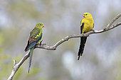 Regent Parrot (Polytelis anthopeplus) pair perched on a branch, Victoria, Australia