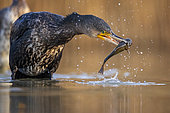Great Cormorant (Phalacrocorax carbo) with captured fish prey in beak, Hungary