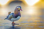 Mandarin Duck (Aix galericulata) male walking on an ice surface, Saxony-Anhalt, Germany