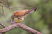 Common Kestrel (Falco tinnunculus) with mouse prey, Serbia
