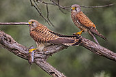 Common Kestrel (Falco tinnunculus) pair with mouse prey, Serbia